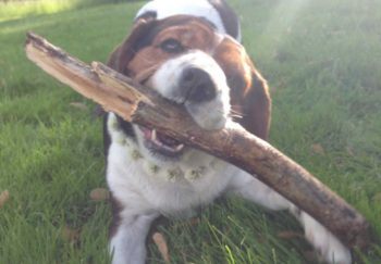 Beaglier playing with a stick in the grass